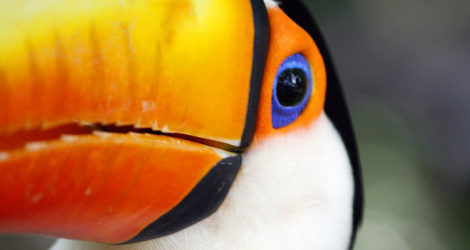 I Bought an Amazonian Toucan in Peru