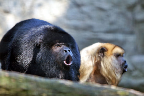 The Search for the Howler Monkey