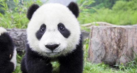 Chengdu: Chengdu Research Base of Giant Panda Breeding