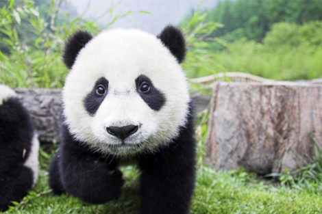 Chengdu: Chengdu Research Base of Giant Panda Breeding
