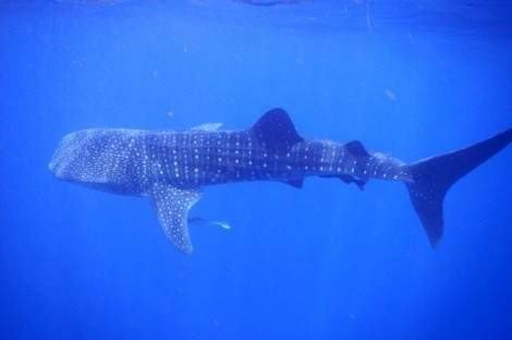Placencia: Whale Shark Dive