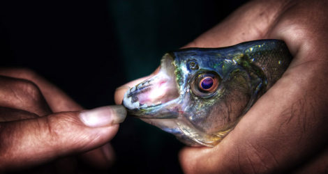 A Piranha in Laos